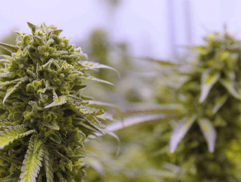 Cannabis-bolg